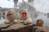 Snow Monkeys from Nagano relaxing in a hot spring