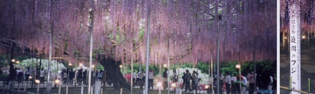 Great_wisteria_blossom_Ashikaga_Tochigi_(Japan)