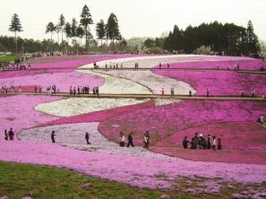 Hitsujiyama-park_Phlox_subulata_2005
